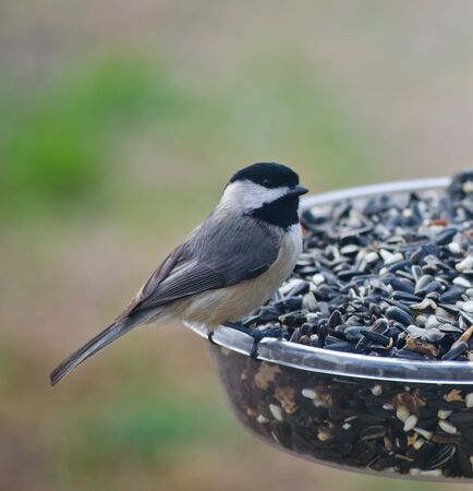 Blackcapped Chickadee on Feeder