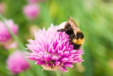 Bumblebee on a flower bow Stock Photo