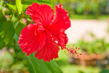 beautiful flower of red hibiscus (China Rose)