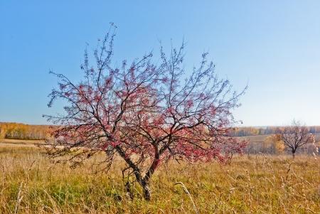 Wild Apple-tree in the field autumn day