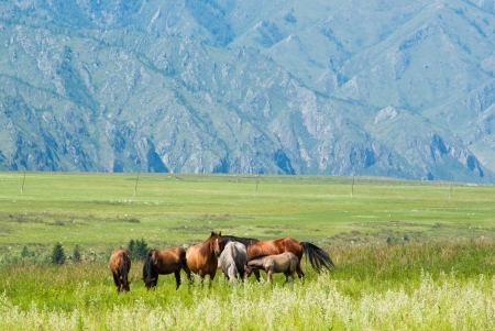 Wild horses graze in the meadow in the mountains