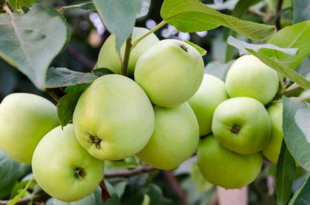 Green apples grow in the garden on a branch. Stock Photo