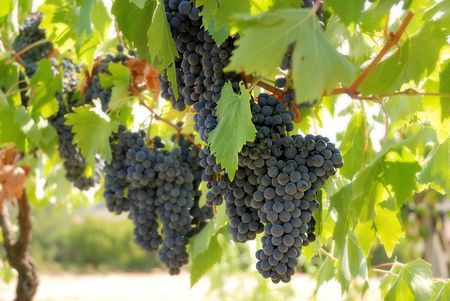 bunches of ripe grapes in the vineyard Stock Photo
