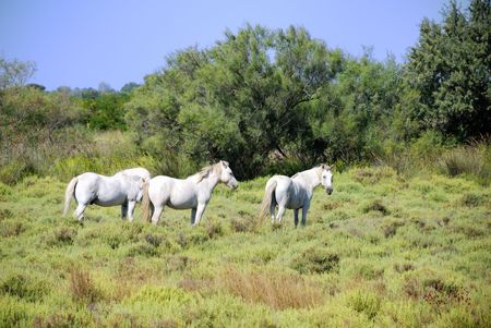 horses in the park of the Camargue in the wild situation photo