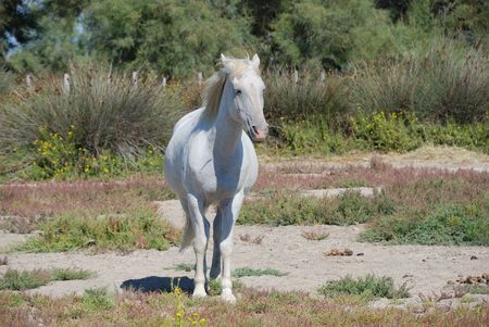 horse in the park of the Camargue in the wild situation photo