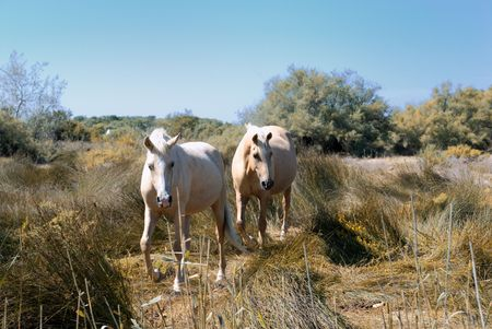 horses in the park of the Camargue in the wild situation