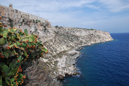 prickly pear: prickly pear on the rocks of st nicholas island italy Stock Photo