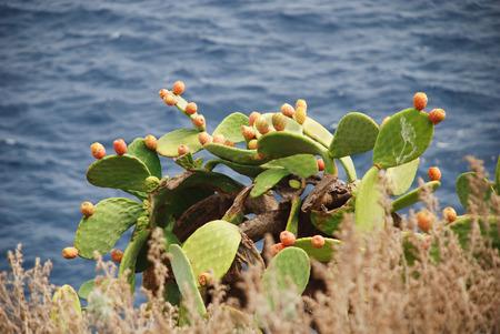 prickly pear on st nicholas island archipelago tremors