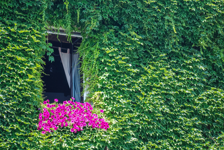 Wall covered with ivy with window