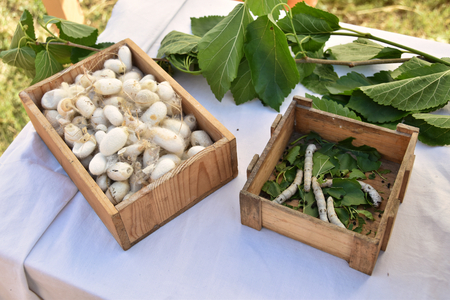 Bombyx mori silkworms with mulberry leaves
