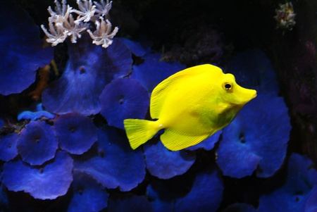 sea life centre: Yellow Fish in the Blue Coral Stock Photo