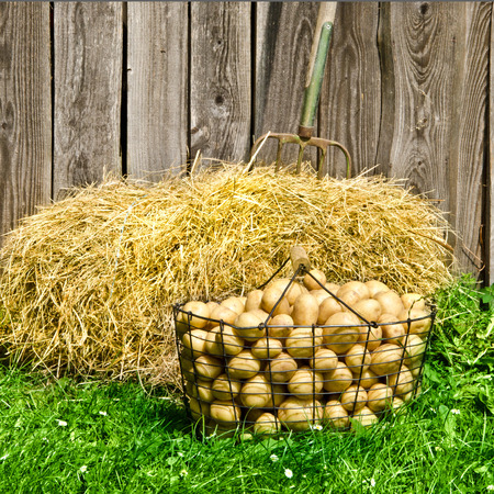 potatoes in a basket and a hay bales, photo