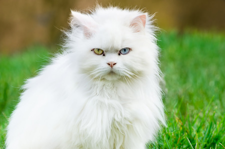 Turkish angora, white cat with different eye color