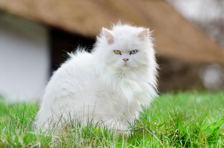 Turkse Angora, witte kat met verschillende kleur van je ogen Stockfoto