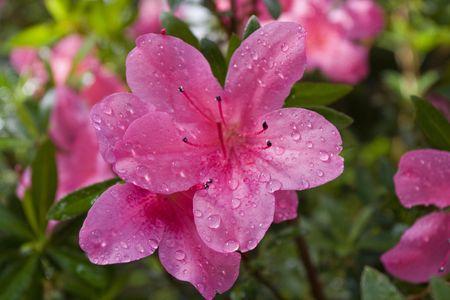 Pink Blume ein Azalee nach einem Regenschauer