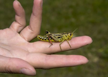 Grasshopper on the opened palm. Close-up Stock Photo - 3516460