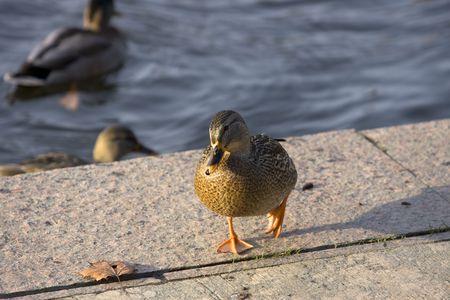 hobble: Hobble duck on quay stone