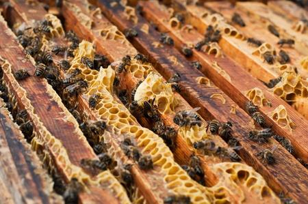 colmena: Abejas en una colmena con miel