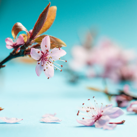 Bright pink blossom of cherry tree on turquoise background. Copy space.