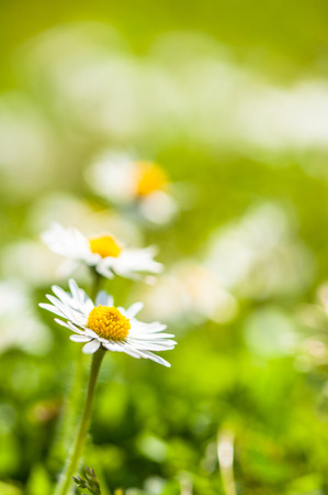 Close up of daisy flowers on a sumer field. Copy space. Selective focus. Stock Photo
