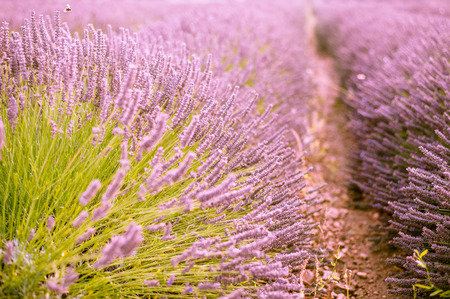Endless rows of blossoming lavander plants with beautiful purple flowers.