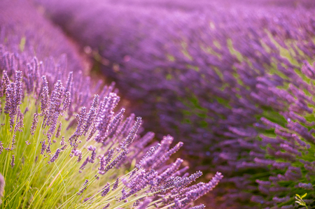 Endless rows of blossoming lavander plants with beautiful purple flowers. Imagens