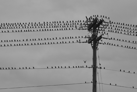 telephone pole: A flock of birds gathers on a string a power lines and telephone pole, cast against an overcast sky as a storm approaches.