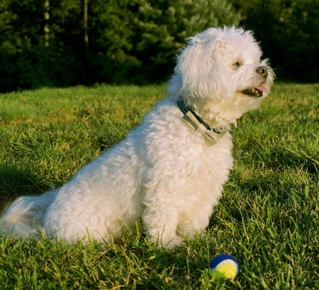 small white dog: A small white dog sits in the grass after finishing a game of fetch. Stock Photo