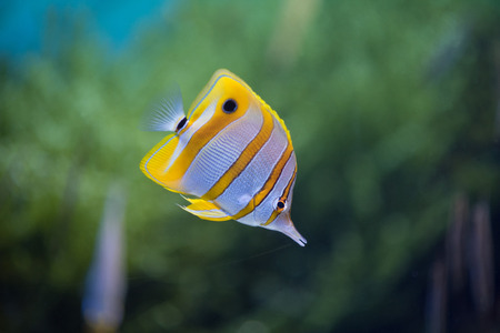 copperband butterflyfish: Close-up of copperbanded butterflyfish