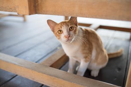 looking towards camera: Orange  white cat under a chair looking towards camera