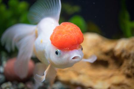 Red Cap Oranda Goldfish - Encased with a prominent head growth, they can appear just like a lion.