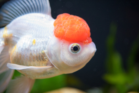 oranda: Red Cap Oranda Goldfish - Encased with a prominent head growth, they can appear just like a lion.