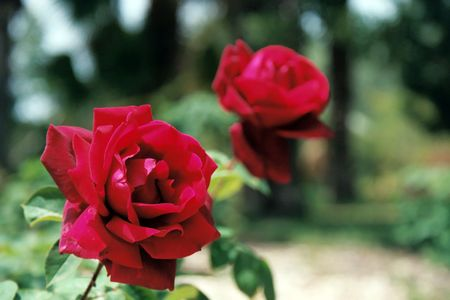 Two roses in a garden
