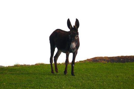 jack ass: visualizzazione di un asino in fron di un muro bianco da vicino