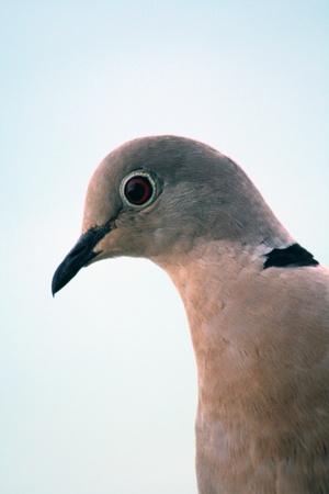 pidgeon: Dove
