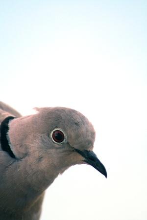 forbids: Turtle-dove