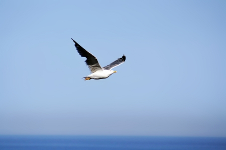 sea gull flying photo