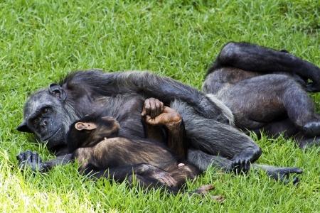 chimpances: los chimpanc?s Foto de archivo