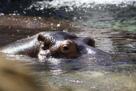 looming: Hippo head looming out of the water