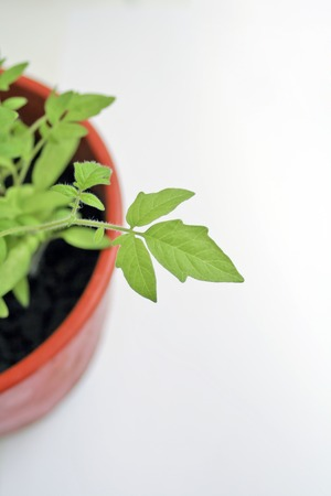 Plant leaf in a pot photo