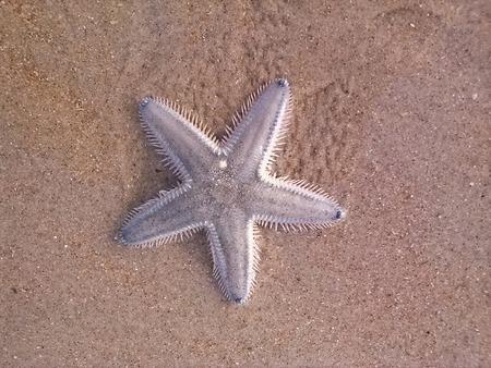 seastar: Sea-star on the sandy beach