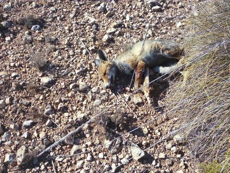 Hunted Fox dead by gun shot Imagens