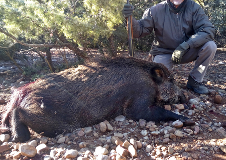 Hunted wild boar dead by gun shot