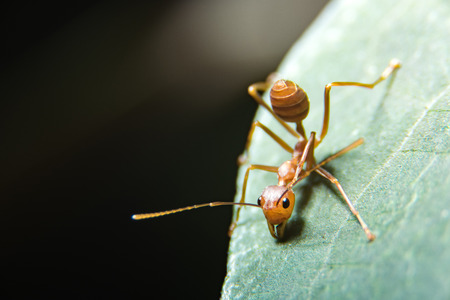Red ant Stock Photo - 82611925