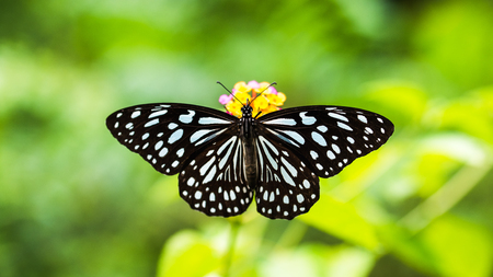 Top view of Butterfly: Tirumala limniace