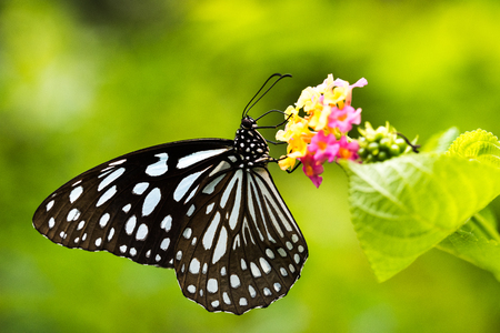 Side view of Butterfly: Tirumala limniace 写真素材