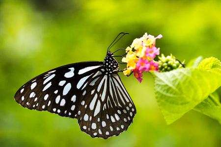 나비의 측면보기 : Tirumala limniace