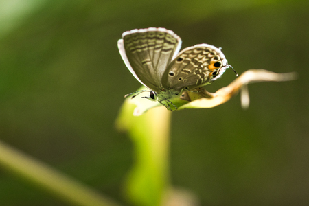 gray: Euchrysops cnejus Butterfly