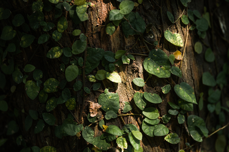 Climbing Plant on tree with side light at sunset Stock Photo