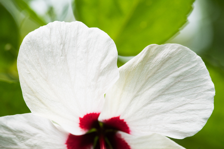 Close up White Flower petal